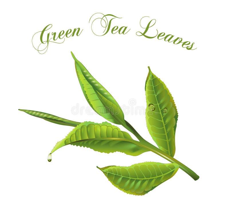 Hojas de té verdes stock de ilustración