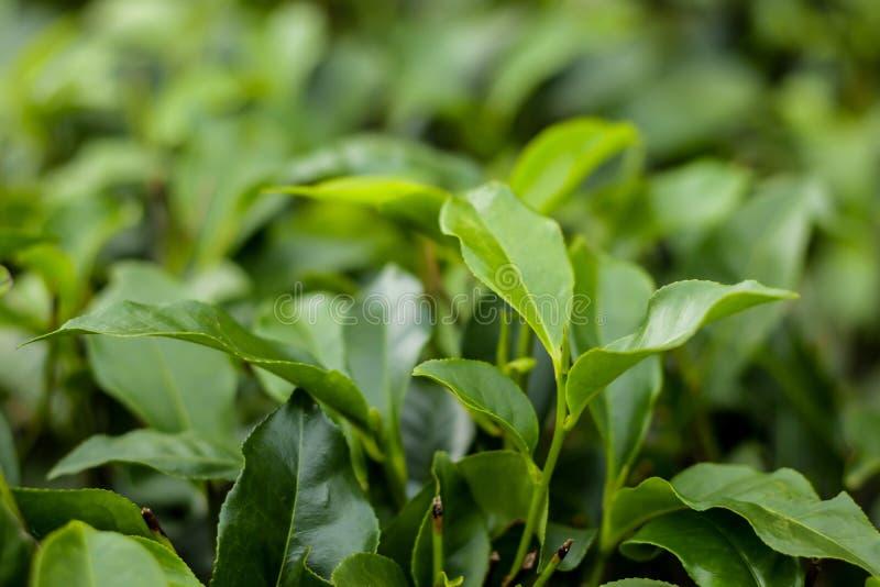 Hojas de t? verdes en una plantaci?n de t?, primer fotos de archivo