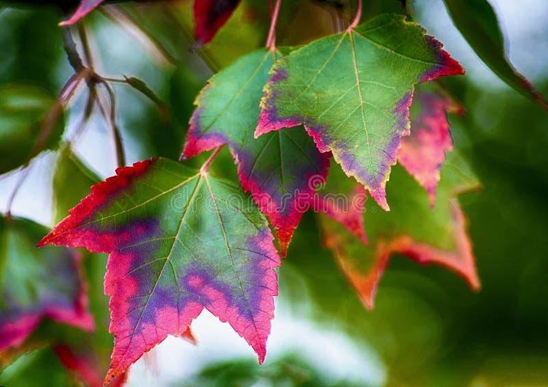 Hojas de torneado del Puesta del sol-arce del otoño fotografía de archivo