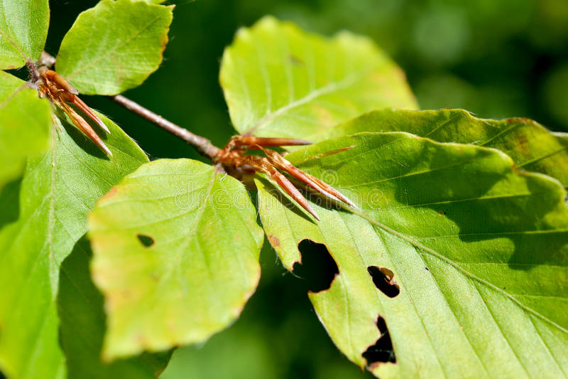 Hojas de un árbol de haya. fotografía de archivo