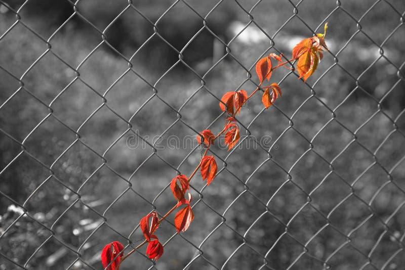 Hojas de uvas en acoplamiento de alambre foto de archivo libre de regalías