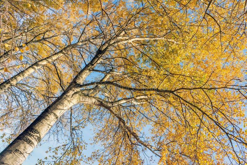 Hojas decoloradas amarillas anaranjadas en las ramas de los árboles de abedul i imagen de archivo libre de regalías