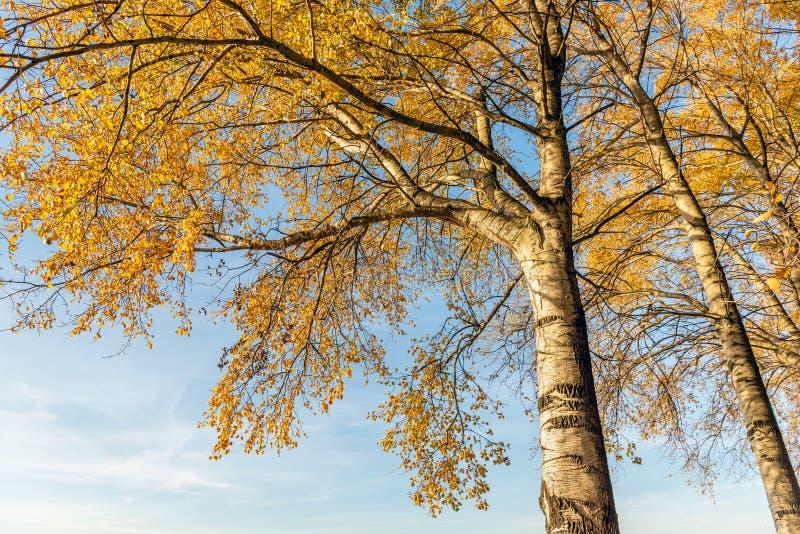Hojas decoloradas amarillas anaranjadas en las ramas de los árboles de abedul en la estación del otoño contra un cielo azul fotos de archivo libres de regalías