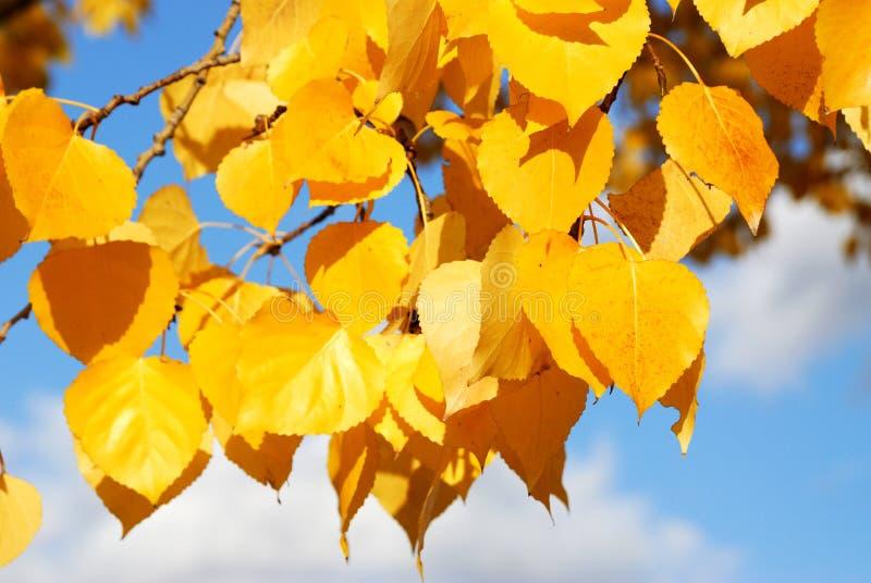 Hojas del álamo temblón del otoño imagenes de archivo