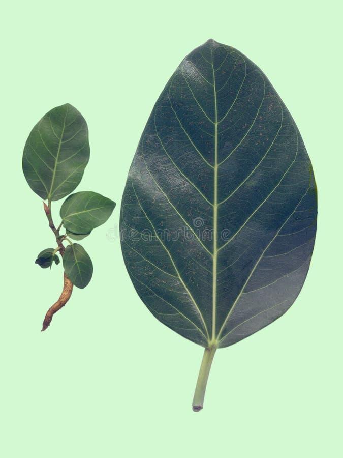 Hojas del árbol de Banyan fotos de archivo