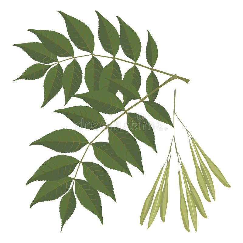 Hojas del árbol de ceniza aisladas en el fondo blanco ejemplo realista del vector stock de ilustración