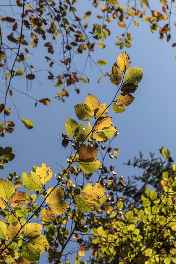Hojas del árbol de haya imagen de archivo