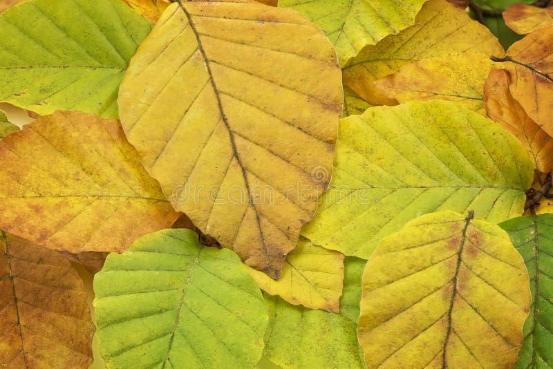 Hojas del árbol de haya imagen de archivo libre de regalías