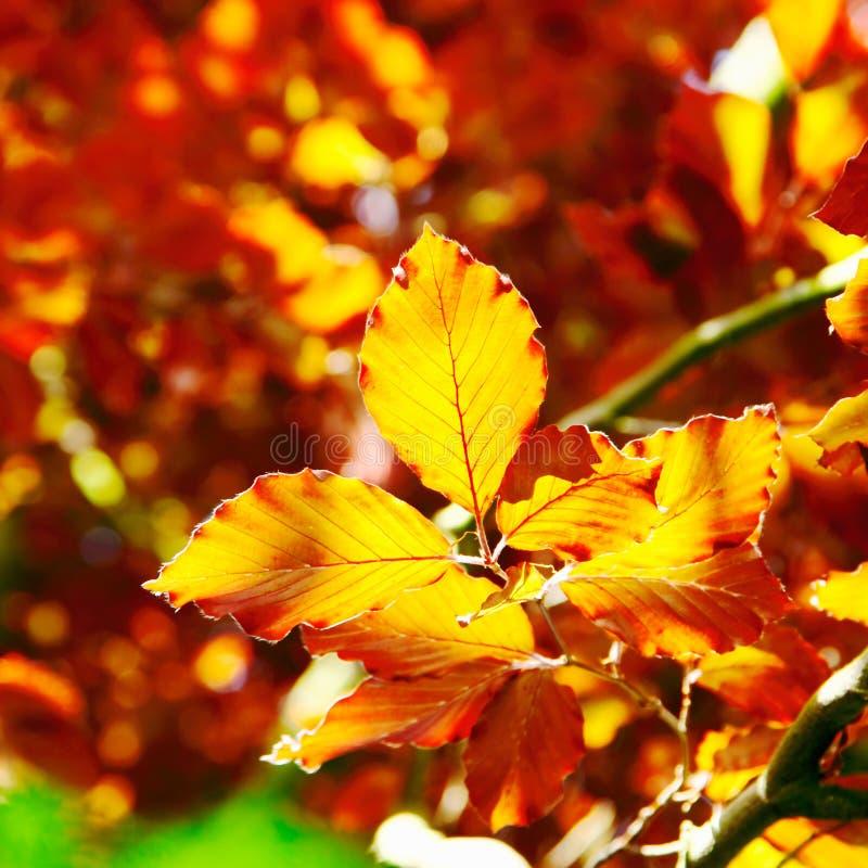 Hojas del árbol de haya del otoño imagen de archivo libre de regalías