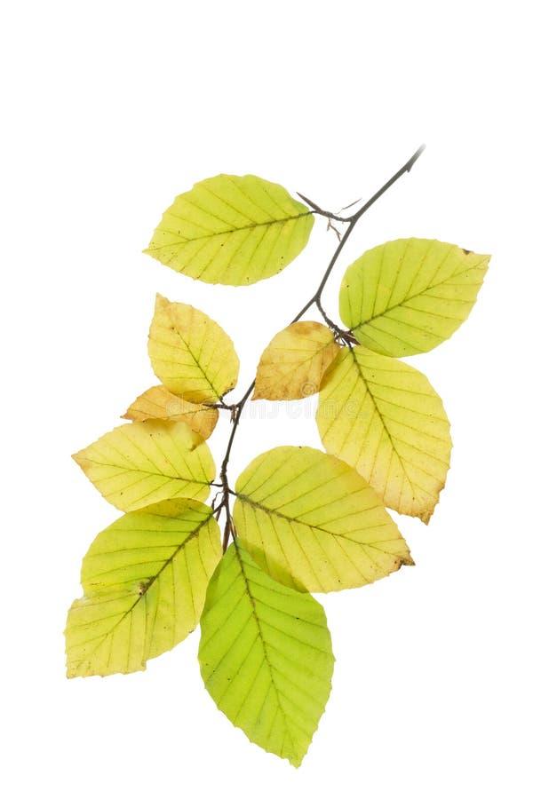 Hojas del árbol de haya en otoño imagen de archivo libre de regalías