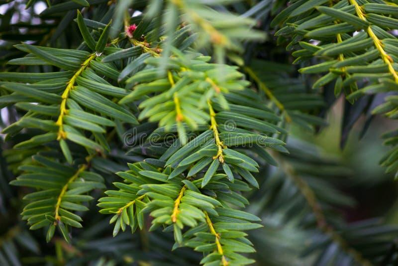 Hojas del árbol de pino imagenes de archivo