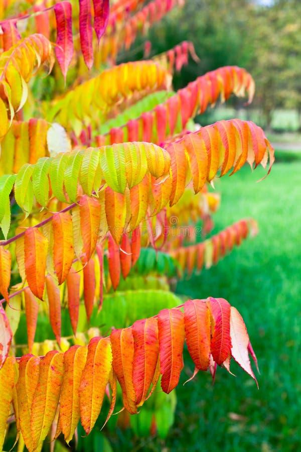 Hojas del árbol del terciopelo en colores de la caída fotos de archivo