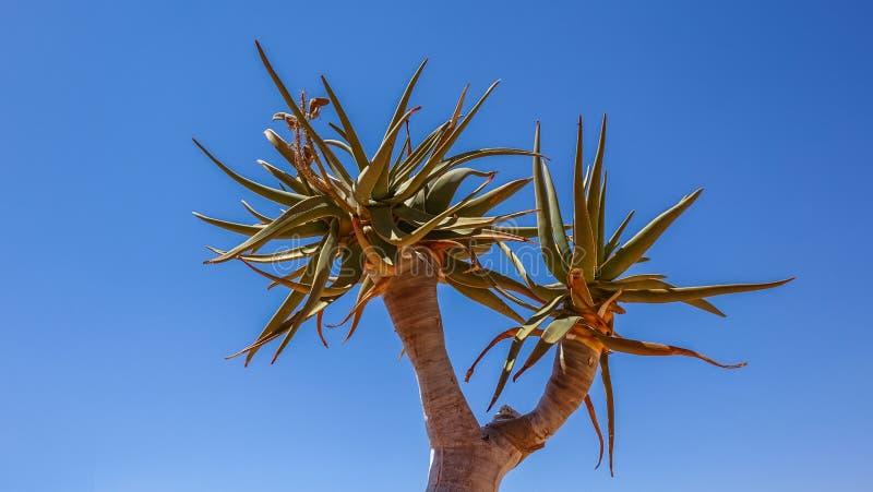 Hojas del árbol del estremecimiento, dichotoma del áloe, Namibia imagen de archivo libre de regalías