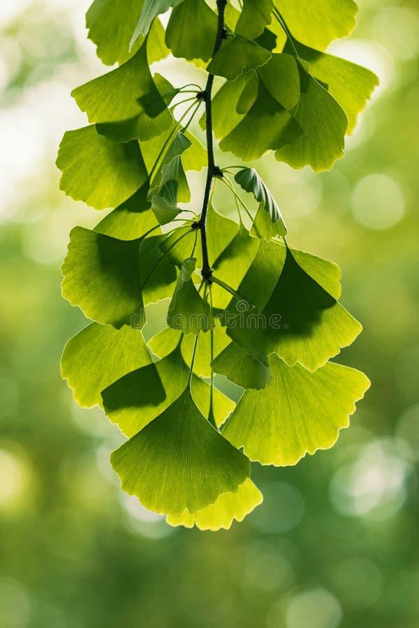 hojas del árbol del ginkgo que dan vuelta al amarillo imagen de archivo