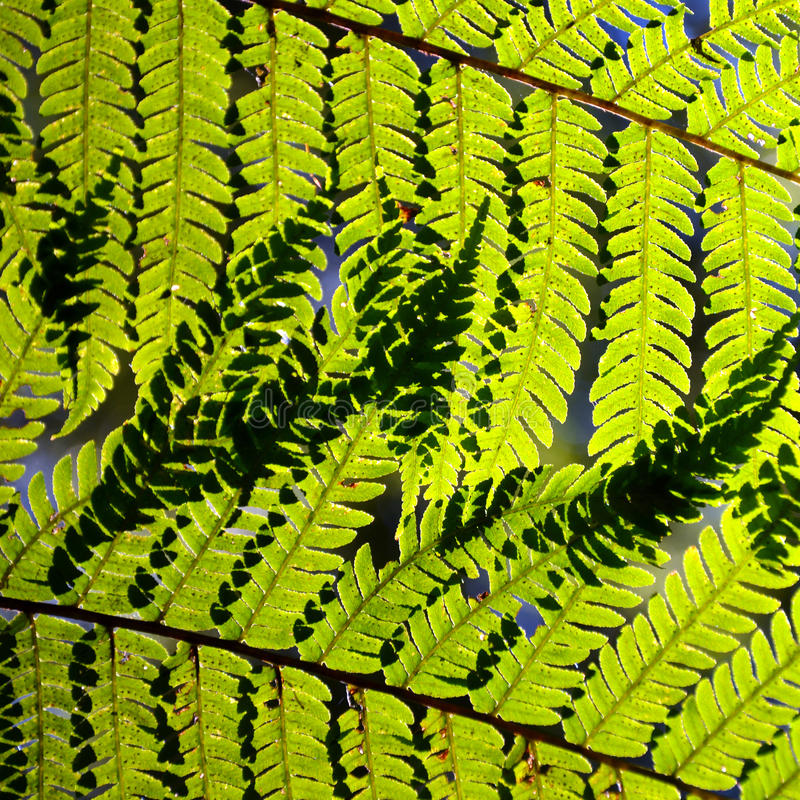 hojas del Árbol-helecho en luz del sol imagenes de archivo