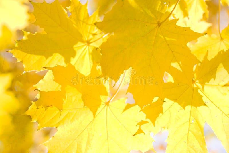 Hojas del amarillo fotos de archivo libres de regalías