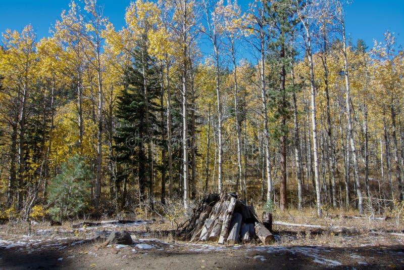 Hojas del amarillo de los árboles de Aspen en Nevada en la caída fotos de archivo libres de regalías