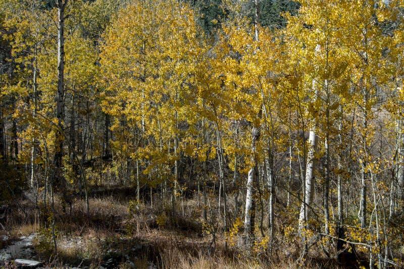 Hojas del amarillo de los árboles de Aspen en Nevada en la caída fotografía de archivo
