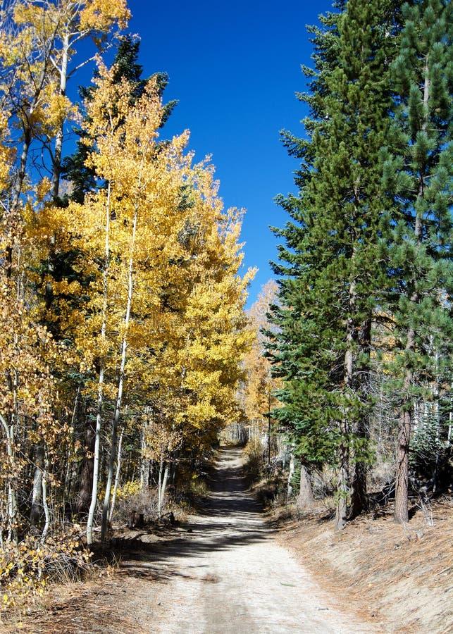 Hojas del amarillo de los árboles de Aspen y hojas verdes de los árboles de pino en t fotos de archivo