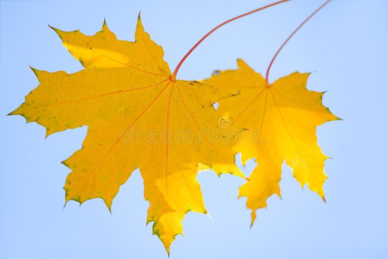 Hojas del amarillo de un arce imagen de archivo libre de regalías