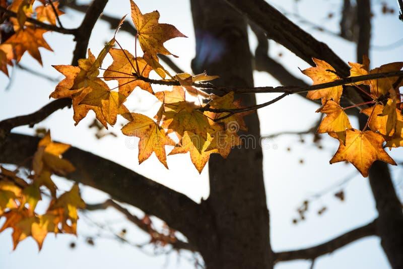 Hojas del amarillo en el árbol imagen de archivo