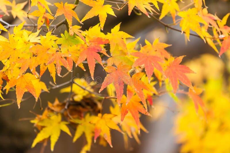 Hojas del amarillo en otoño en Japón fotografía de archivo