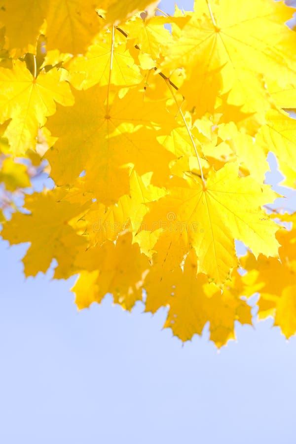 Hojas del amarillo en una luz del sol fotografía de archivo