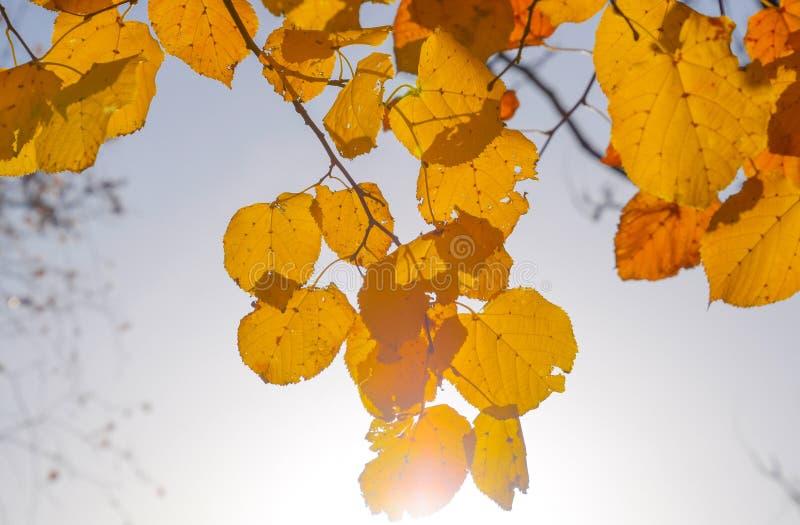 Hojas del amarillo del tilo contra el cielo y el contraluz Fondo del oto?o de las hojas de un tilo Oto?o amarillo foto de archivo
