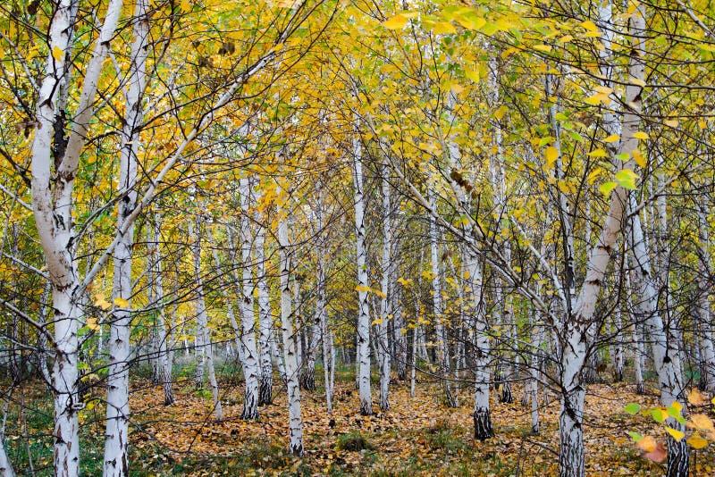Hojas del amarillo del verde del abedul del otoño del bosque fotos de archivo libres de regalías