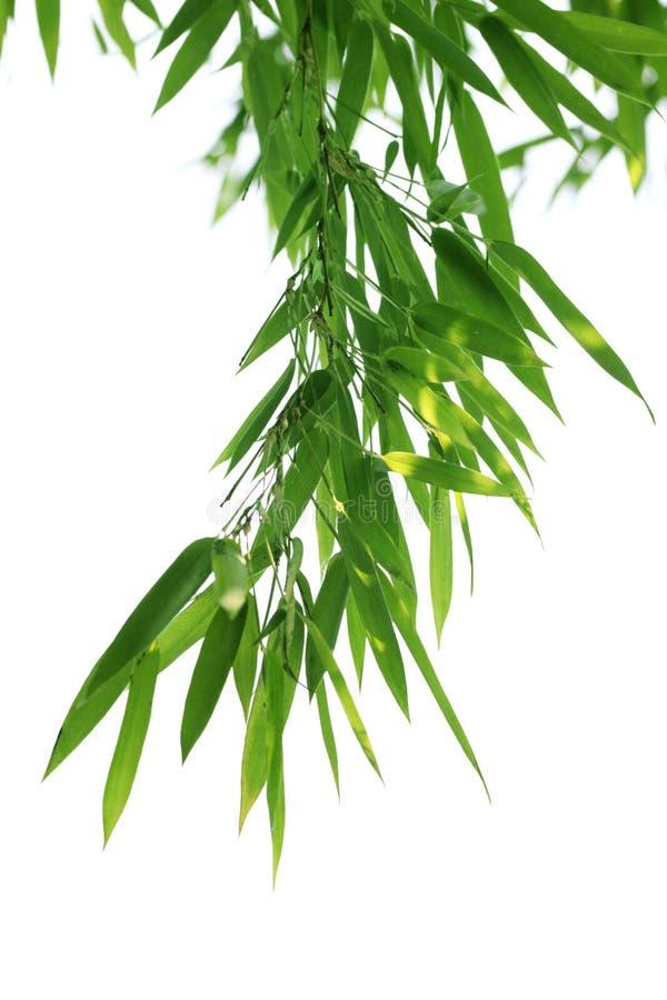 Hojas del bambú fotografía de archivo libre de regalías