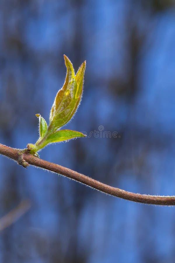 Hojas del brote de una madreselva perfoliada fotografía de archivo libre de regalías