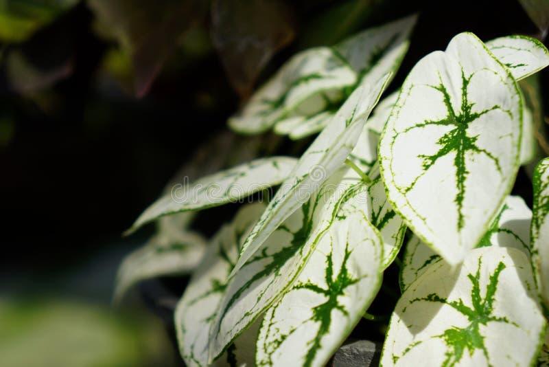 Hojas del Caladium Humboldtii Schott en jardín fotos de archivo libres de regalías
