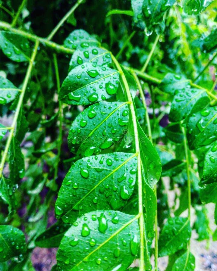 Hojas del curry y gotitas de la lluvia fotografía de archivo