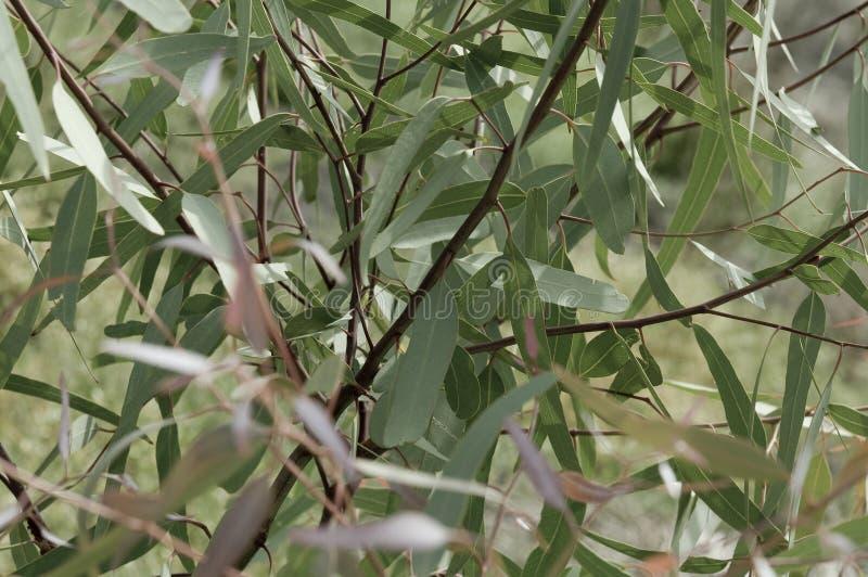 Hojas del eucalipto foto de archivo libre de regalías