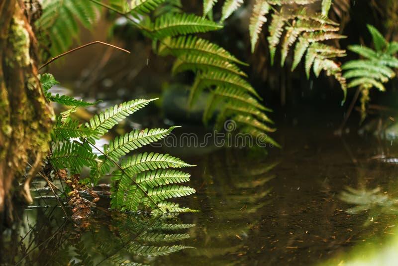 Hojas del helecho en agua Bosque fotos de archivo libres de regalías