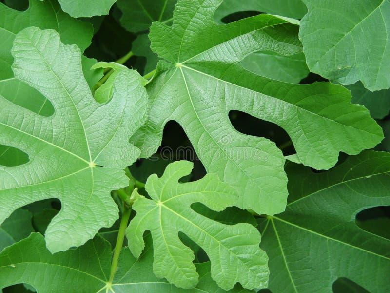hojas del higo fotos de archivo