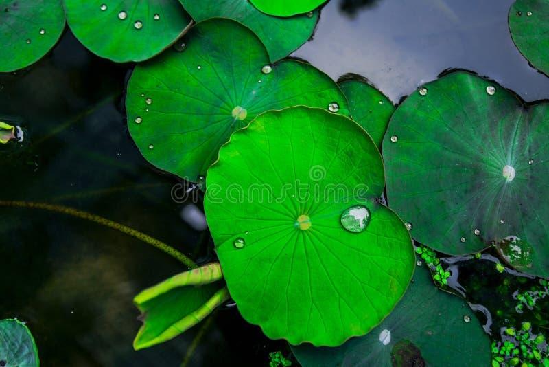 hojas del loto en el lago fotos de archivo libres de regalías