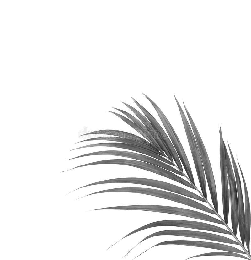 Hojas del negro de la palmera fotografía de archivo