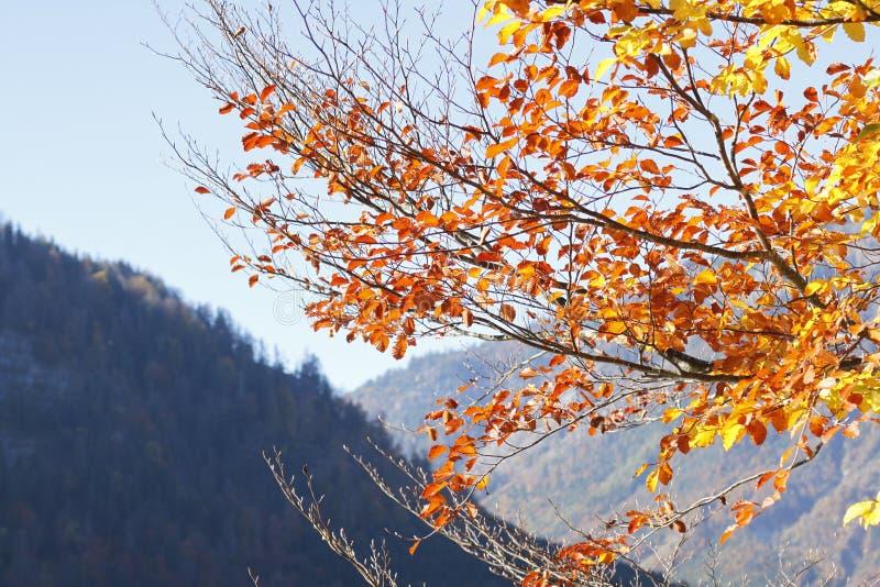 Hojas del otoño en Austria fotos de archivo libres de regalías