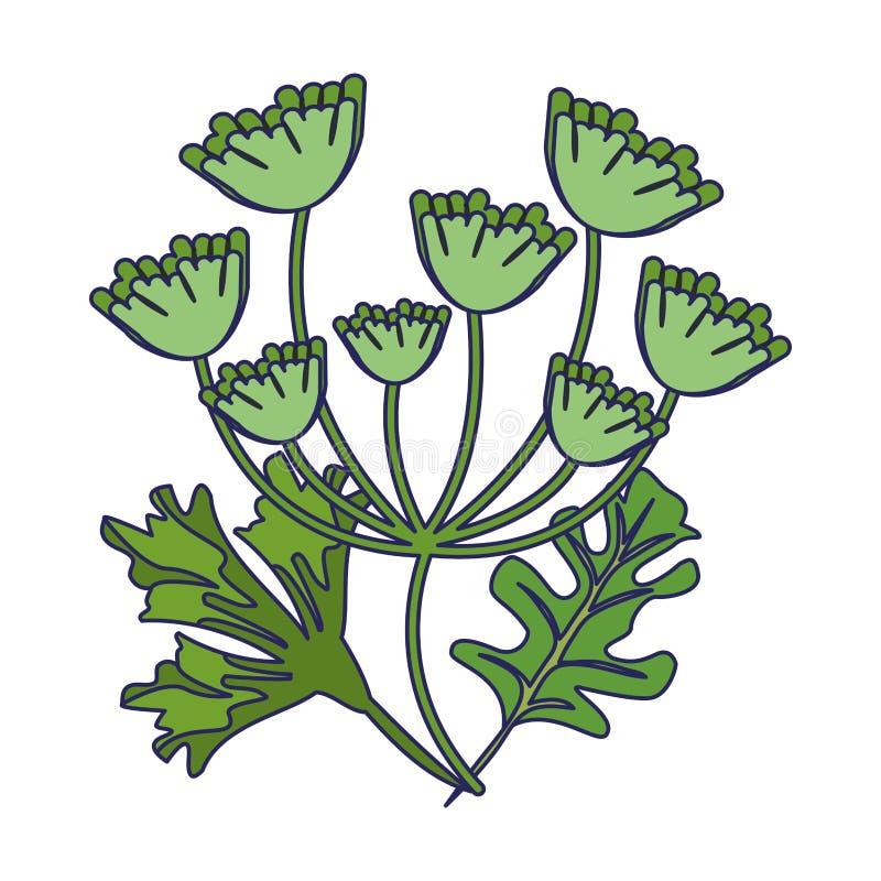 Hojas del perejil y del coriandro ilustración del vector
