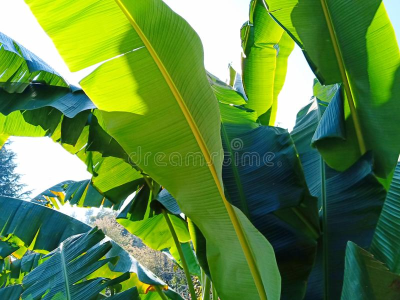 Hojas del plátano fotos de archivo