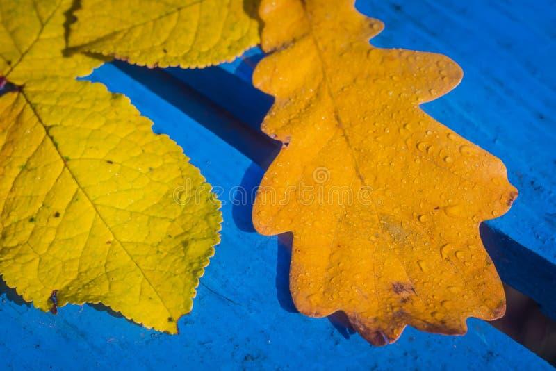 Hojas del roble de la caída en azul imagen de archivo libre de regalías
