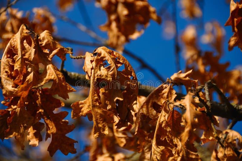 Hojas del roble del otoño en la puesta del sol fotografía de archivo libre de regalías
