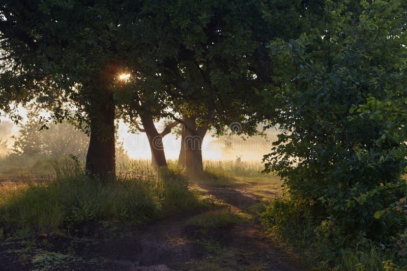 Hojas del roble en la luz de la mañana con luz del sol Salida del sol en el campo imágenes de archivo libres de regalías