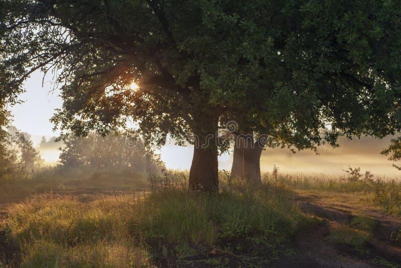 Hojas del roble en la luz de la mañana con luz del sol Salida del sol en el campo fotos de archivo libres de regalías