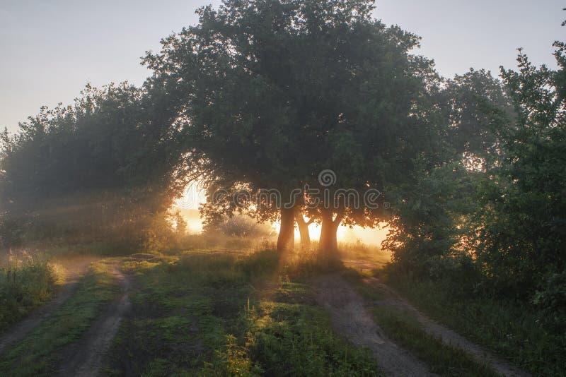 Hojas del roble en la luz de la mañana con luz del sol Salida del sol en el campo foto de archivo