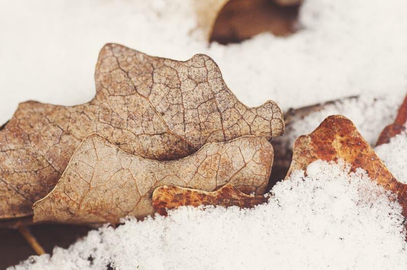 Hojas del roble del otoño en nieve imagen de archivo