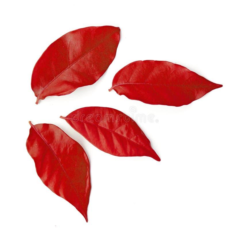 Hojas del rojo del otoño aisladas en el fondo blanco fotos de archivo
