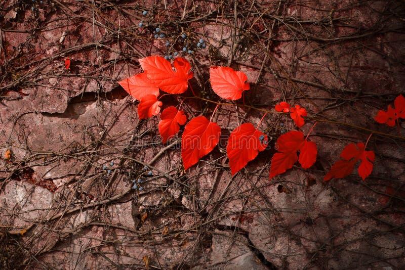 Hojas del rojo en la pared gris fotos de archivo libres de regalías