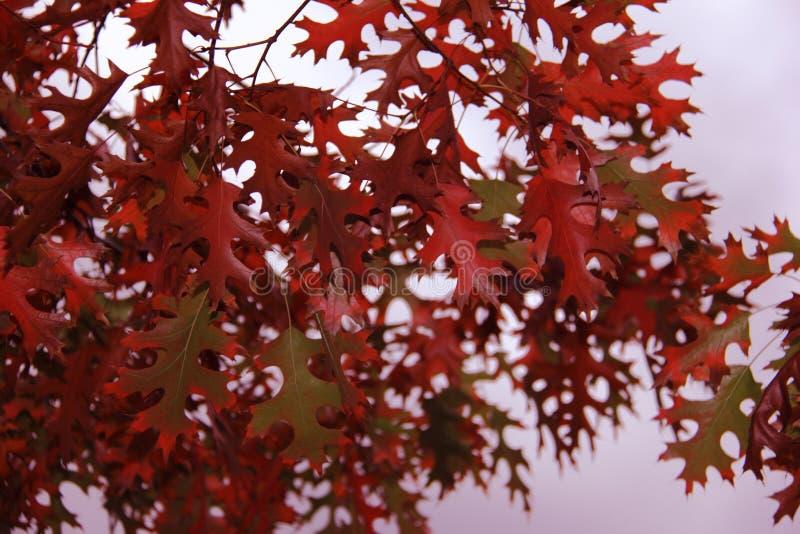Hojas del rojo en otoño imágenes de archivo libres de regalías